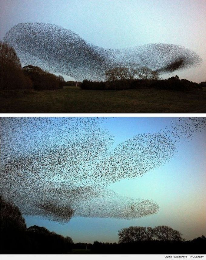 Another murmuration of starlings. No one knows why they do it, yet each fall thousands of starlings dance in the twilight above Gretna, Scotland. The birds gather in magical shape-shifting flocks called murmurations, having migrated in the millions from Russia and Scandinavia.