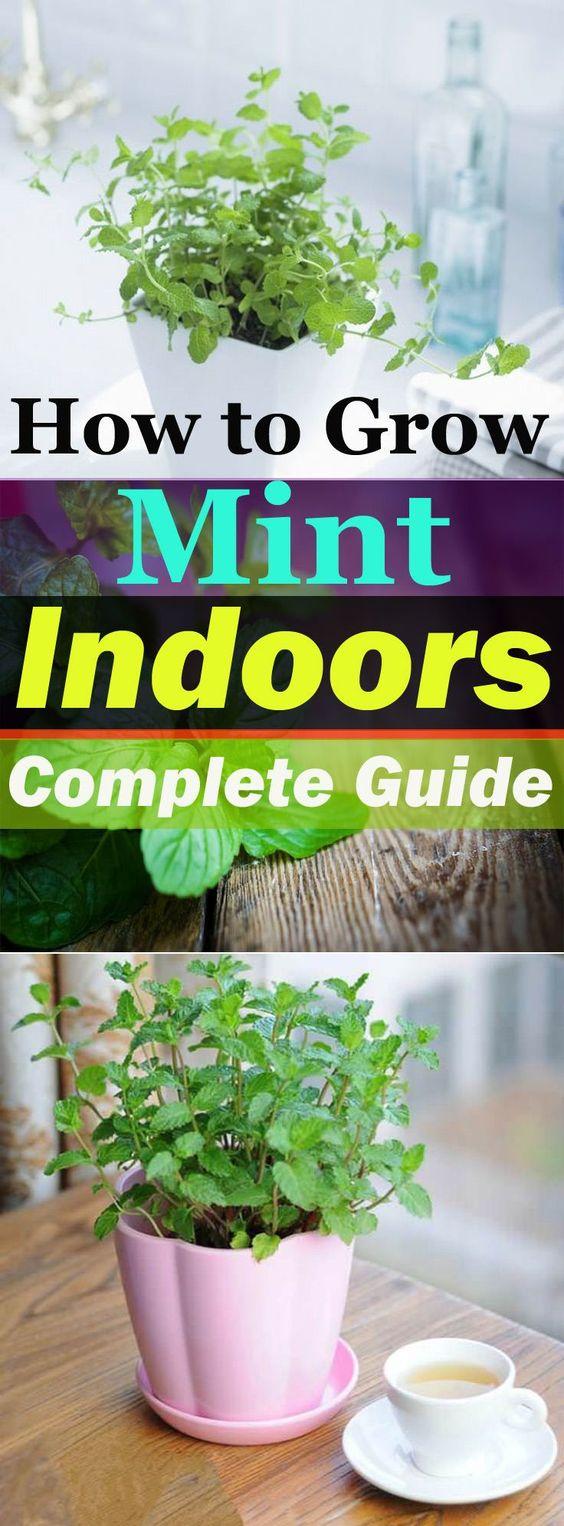芬芳,快速增长,最常用的烹饪草药之一 - 薄荷可以在室内种植。在室内增长薄荷是容易的,并且不需要很多努力!草药可以在室内种植,薄荷是...