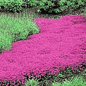 爬行THYME  - 胸腺serpyllum传播四季不断,到6英寸高;与深粉红色的花簇形成厚厚的席子,非常香!用于石头走道,边界和需要地面覆盖物的区域。 6月到8月盛开。 SUN / PARADAL SHADE每包数据种子:200+种子/英镑种子:2,700,000
