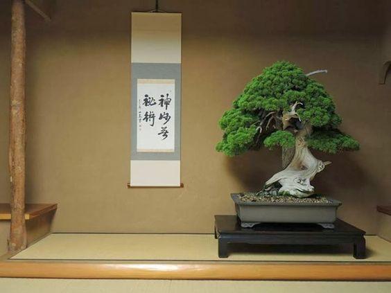 盆景树如果保存得好,可以长得很老 - 日本的一些树木已经有800多年的历史了!