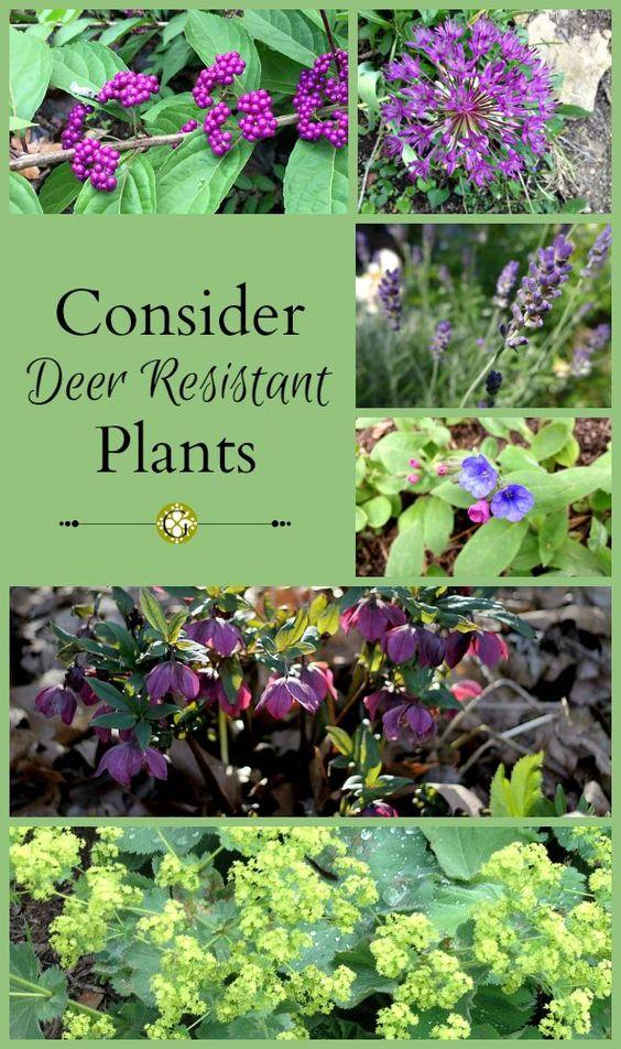 学习如何通过在您的花园种植抗鹿的植物来阻止鹿和其他威慑物,这些威慑物可以帮助您的花园变大而茂盛。