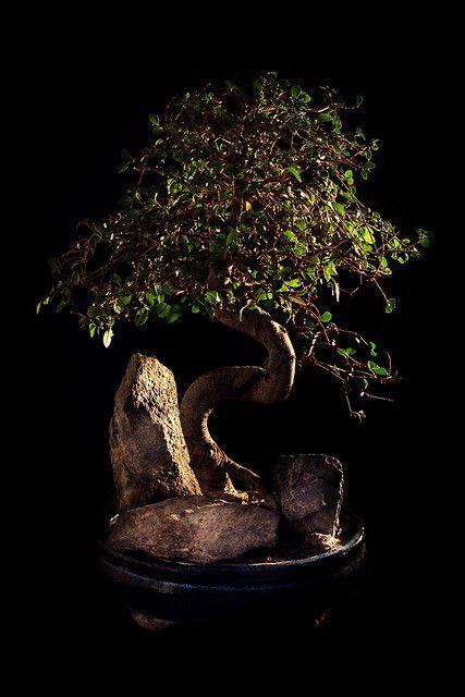 我的兄弟盆景树。它是一种中国榆树(Ulmnus Parvifolia)盆景树,显然是最受欢迎的盆景树。这个盆景拍摄是在树上采用照明进行的实验,该实验使用一盏台灯,一张白色卡片作为反射器......让我知道任何想法来改进它。盆景树在黑色看起来更好...请看:D德盆景树得到探索:D