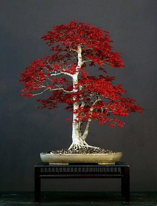 盆景,不知道什么类型的树。日本枫或许?