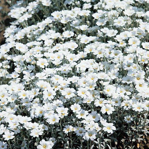 地面覆盖物是一种很有吸引力的方式,可以快速覆盖花园中的许多区域。夏季降雪是一种常绿地面覆盖,从五月到六月开花,在37区生长良好。在这里了解更多。
