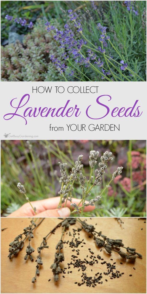 从花园里收集薰衣草种子很容易。按照这些步骤,你将有很多薰衣草种子分享或交易其他花园种子。