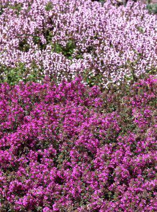 11个顶级多年生地被植物为您的院子和风景。