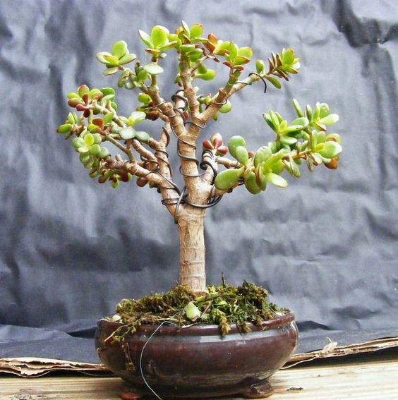 哪种植物最适合形成盆景?有很多,但我们已经选择了22盆最好的树木。查看!