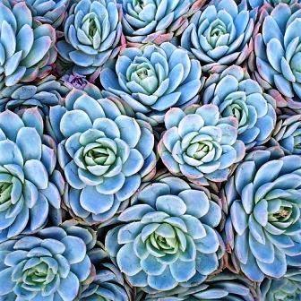 买60墨西哥玫瑰Echeveria线虫种子 - 多汁植物种子 - 地面覆盖R11.50