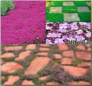 蠕动母亲THYME草本种子多年生地被植物