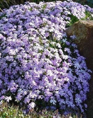 爬行Phlox ...... ..一片绽放的花毯在春天,我不认为有另一个地面覆盖物更像Creeping Phlox那样美丽夺目。它是华丽的,开花的...