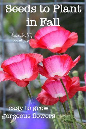 在秋天撒播你的种子!在秋季种植种子可以让您在许多一年生,多年生和两年生植物上快速起步。我列出了一些我的最爱!