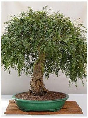 BONSAI胡椒树?