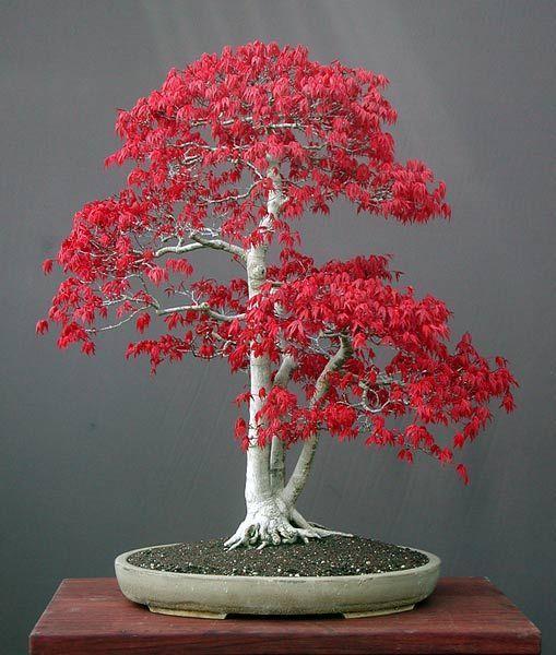 这棵小树不会像这样长大。它经过多年的精心打理和切割。盆栽艺术是日本的特产,这是全叶日本枫树。