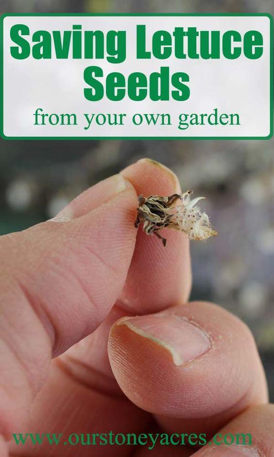 保存莴苣种子是开始学习拯救自己的种子的好地方。这篇文章会告诉你保存自己的莴苣种子是多么容易。