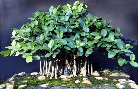 哪种植物最适合形成盆景?有很多,但我们为盆景选择了22棵最好的树木。查看!