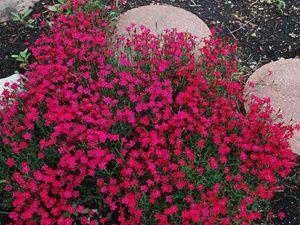 """石竹微小红宝石高香芬芳的芬芳香味100年代的初夏迷人粉红色花朵常绿树叶保持吸引力,整个季节太阳地覆盖,超耐寒3区购买所有香植物区3,4,5,6,7,8, 9开花春季末至初夏4-5""""X 12""""特殊功能:蝴蝶爱好者,寒冷强壮,切花,抗鹿,抗病,抗旱,易护理,常绿,快速生长,香气,耐热,抗病虫害"""