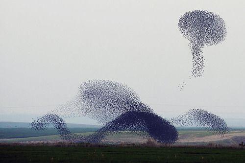Murmurations of Starlings