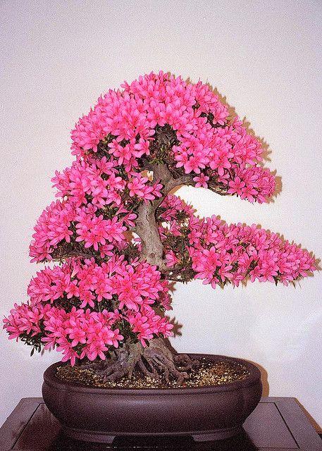 一个非常古老的小月杜鹃花从鞭子射击成长。来自美国国家植物园的国家盆景和盆景Mueseum收藏。欲了解更多信息,请访问:www.usna.usda.gov/Gardens/collections/bonsai.html感谢Kyle House提供有关树木的信息。 009_16A Mod Crop.jpg