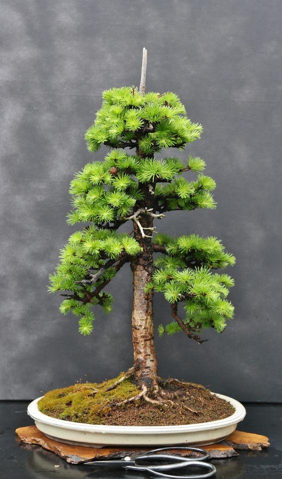 如何启动盆景树有很多方法可以启动所有以相同结果结束的盆景。事实上,