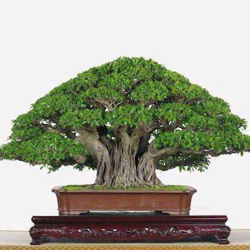 ficus bonsai扮演 (wen G Zhang) - splendid