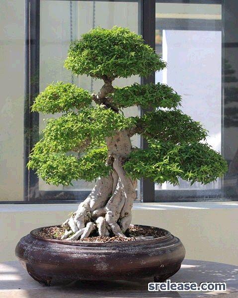 盆景+树+ +初学者|适合初学者的盆景树,盆景教程