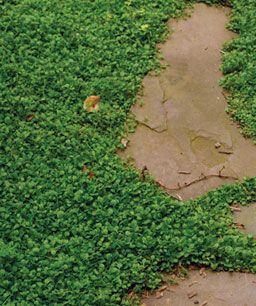 低维护的草坪替代品 - 马祖斯