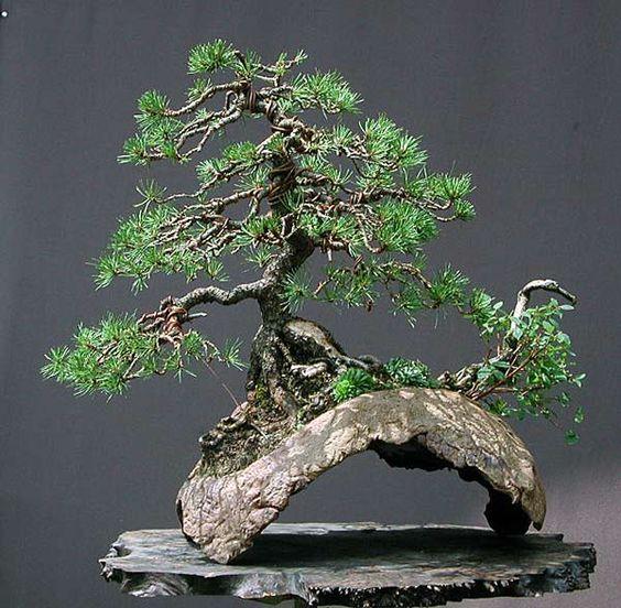 Walter Pall盆景冒险:Mugo松树盆景,盆景艺术,盆景树,盆景