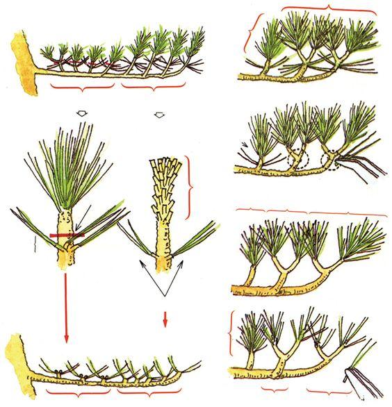 种植优质松树盆景|盆景树皮