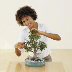 开始盆景爱好者有很好的成果培养易于种植的玉盆景树(Crassula ovata)。玉器原产于非洲南部的山区,在那里它们长到8英尺高。在训练盆景树时,目标是在树木开始时不断修剪常规树枝。