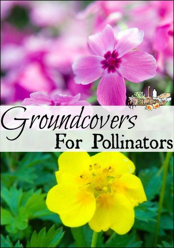 传粉者的地面覆盖物植物 -  4种地面覆盖植物一定要让人和蜜蜂都满意!宅基女士