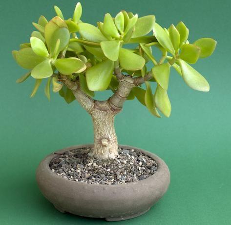 买10棵玉树 -  Crassula ovata盆景种子 - 土着多肉植物为R7.50