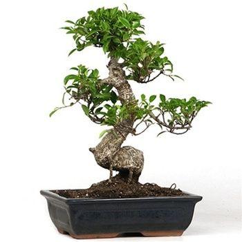 榕树盆景是盆景初学者最受欢迎的物种。在本文中,我们将向您展示如何让它保持活力和蓬勃发展!