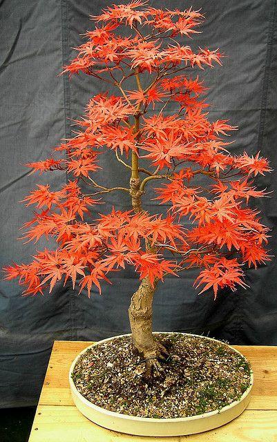 seigen枫树盆景,这是一种光彩夺目的春天的颜色,它将逐渐淡化为夏季,然后在秋季(秋季),将变成美丽的鲑鱼粉色和橙色。