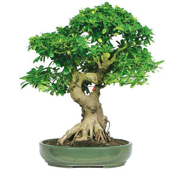伟大的我的榕盆景!如何照顾榕树(盆景)