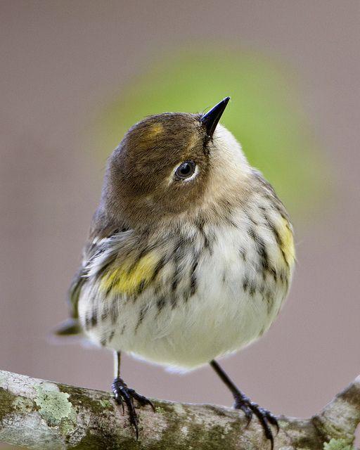 黄腰莺 - 佛罗里达州梅里特岛