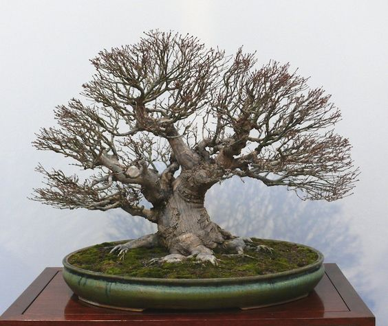 盆栽是盆景的重要组成部分。不应低估其重要性及其对整体情况印象的影响。