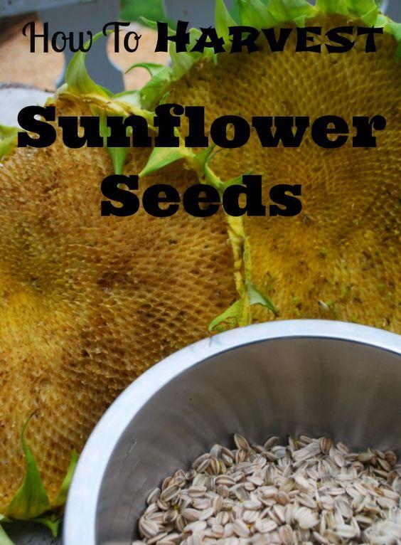 今年秋天如何收获葵花籽。