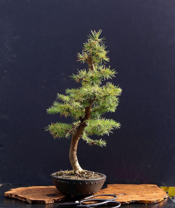 如何开始一个盆景树有许多方法可以开始一个以相同结果结束的盆景。事实上,