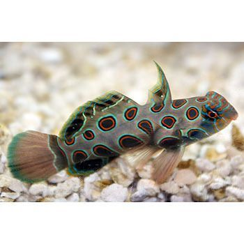 Scooter, he's a spotted mandarin goby