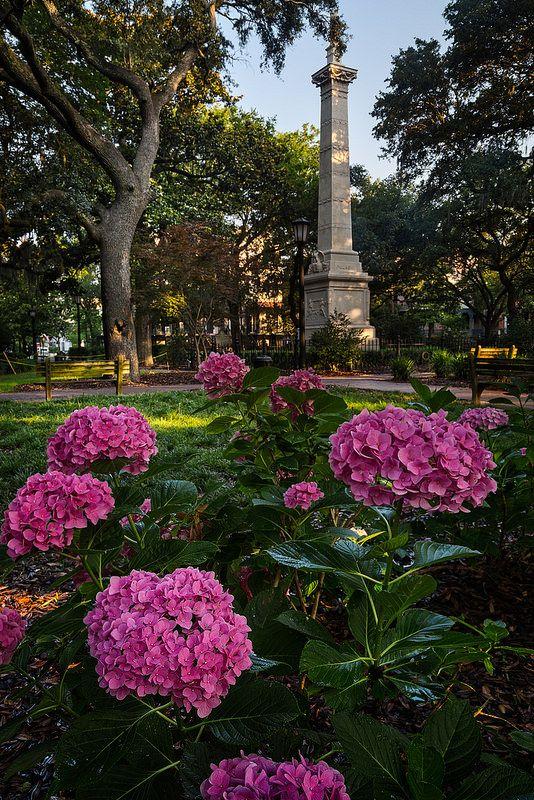"""从快速旅行到佐治亚州萨凡纳和查尔斯顿。这是我第一次去萨凡纳,我非常喜欢所有公共广场的城市布局。这个是蒙特利广场,我很幸运,有一些漂亮的绣球花盛开。在电影""""善恶花园中的午夜""""中使用的美世之家就在拍摄的左边,在一些树后面。在这个城市看到如此多的历史。"""