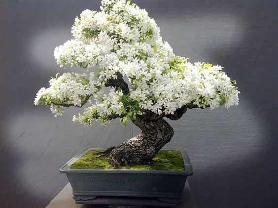 盆景树很棒。只要问宫城先生。它们看起来很漂亮,适合你的房子,它们鼓励耐心和奉献,它们缓解压力,并且有助于净化空气。什么是不喜欢?