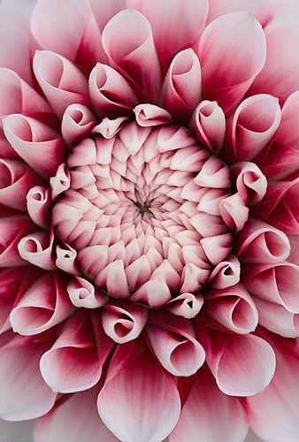 大丽花脚尖粉红色的花的中心的特写(微型花装饰)www.clivenichols.com