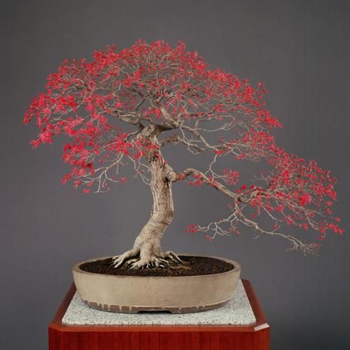 """Japanese maple Bonsai at Japanese imperial bonsai collection #bonsai #盆栽 http://t.co/UI8FyGws7w"""