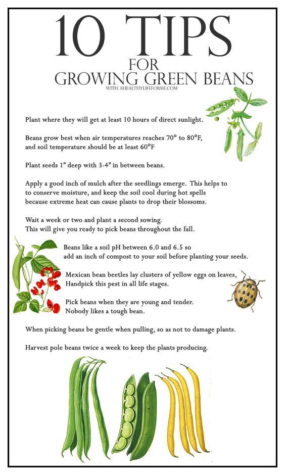 10种绿豆种植技巧