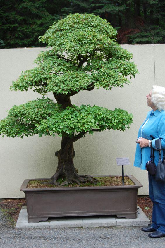 上周末我去了华盛顿的西雅图,看到了最后一个帖子 - 一个名为'CJ'的常见杜松树的主题树。来自太平洋西北地区的八位盆景艺术家......