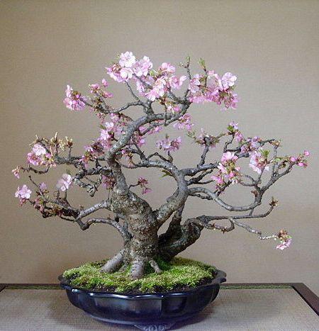 美丽的樱花盆景