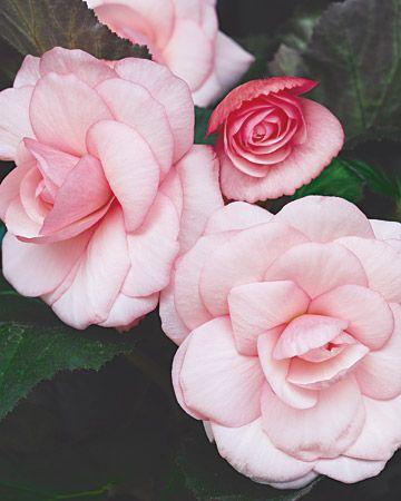 并非所有的开花植物都需要太阳光线的充分强度 - 这些盛开的美女在阴凉处繁衍生息。