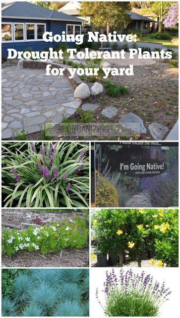 鉴于我们目前在南加州的干旱情况,这是取出我们的前草坪和种植本地耐旱植物的最佳年份。我的城市......