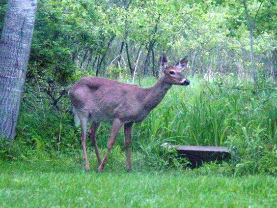 让鹿不吃你的花园的最好方法是种植抗鹿的植物!这里列出了我们最喜欢的抗鹿植物,花卉和灌木为您的花园。