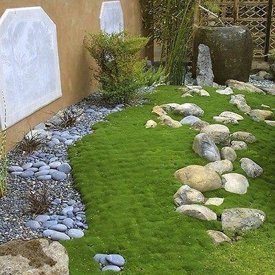 爱尔兰苔藓(Sagina Subulata) - 非常小的爱尔兰苔藓种子形成一个苔藓般的翠绿色叶子,形成一个紧凑的1-2英寸高的地毯。 Sagina Subulata地被植物非常适合在石板之间种植。作为草坪替代品种植,它创造了苔藓覆盖的草地的效果。爱尔兰苔藓非常柔软,可以赤脚走路,并且有轻微的海绵感。如何种植爱尔兰苔藓:���起始单位播种爱尔兰苔藓种子,将微小的种子压入土壤但不覆盖。保持在64-72F,发芽在14-21天。移植到相隔6-9英寸的花园。爱尔兰苔藓种子可直接播种到花园或中间的石头中。地被种子必须连续保持湿润。它适用于气候较凉爽的大部分阳光充足的地方或温暖气候的部分遮荫。爱尔兰苔藓地被植物需要保湿,坚韧,排水良好的土壤。植物在-30°F以上耐寒。季节:多年生USDA区域:4  -  10高度:1  -  2英寸宽度:6  -  12英寸绽放季节:春季和夏季绽放颜色:白色增长率:适度环境:全日照到部分遮荫